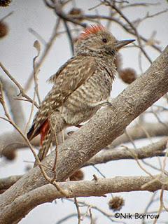 Sahelian Woodpecker