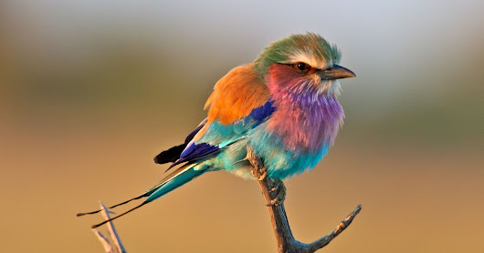 A lilac breasted roller #nature