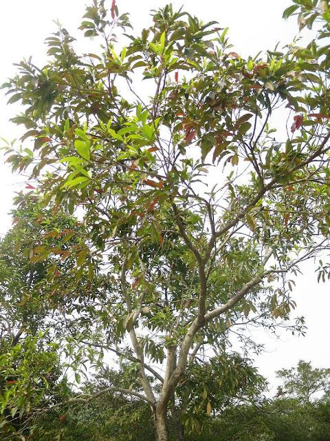 Cây Vối - Cleistocalyx operculatus - Nguyên liệu làm thuốc Chữa Bệnh Tiêu Hóa