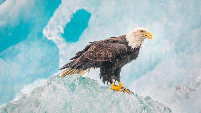 Wallpaper: Bald Eagle Glacier Bay National Park