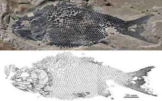 New ionoscopiform fish found from the Middle Triassic of Guizhou, China- Créditos image Phys Org