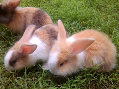 Harga Jual Jenis Kelinci Hias Anggora