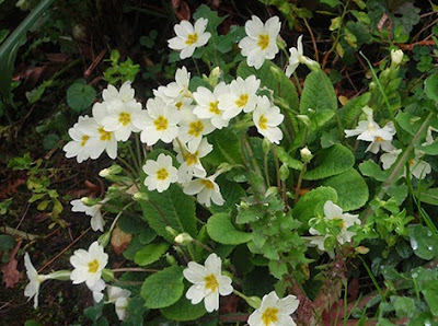 Primavera (Primula vulgaris)flor amarilla