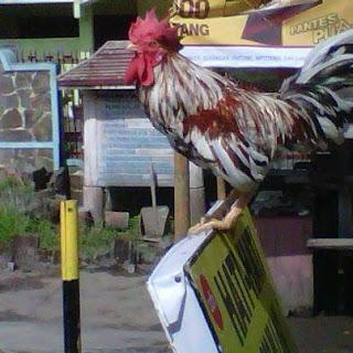 ayam ketawa,manu gaga,Cara Membuat Ramuan Untuk Ayam Ketawa Atau Manu Gaga'