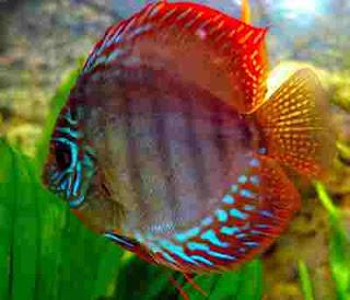 Makanan ikan discus