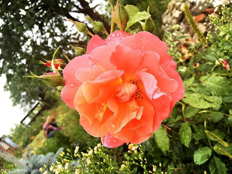 morelowa róża