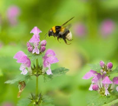 Как шмель перелетает с цветка на цветок