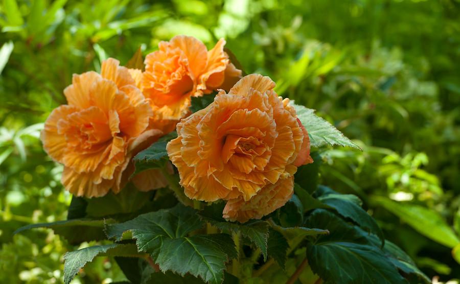 Tipos de Begonia, cuidados y cultivo