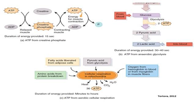 Berbagai sumber energi untuk gerakan otot