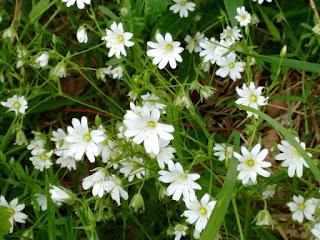 foraging, medicinal herbs, fleetneedles forage, life on pig row