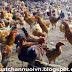 Kỹ thuật nuôi gà thịt