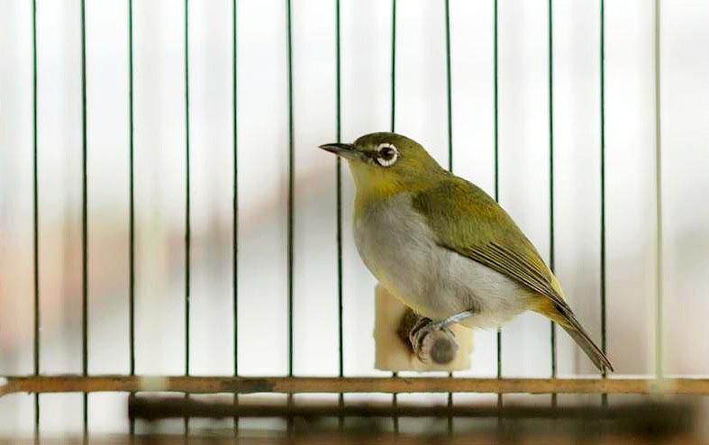 Tips Agar Burung Pleci Cepat Buka Paruh