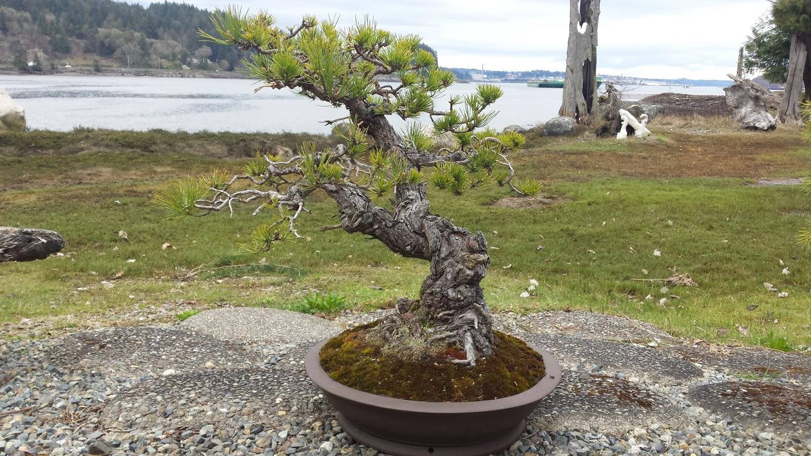 Ry2tree2 Bonsai Blog Pacific Bonsai Museum Natives Preparation Pitch Pine