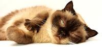 O pisică care clipește lent la tine îți arată încrederea