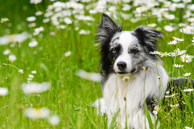 A beautiful border collie in a summer meadow with daisies