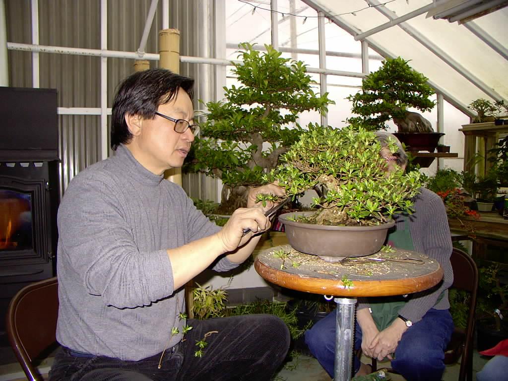 Bonsai Tree 19 Amazing Cass Bonsai Pictures