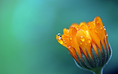 marigold flower widescreen resolution hd wallpaper