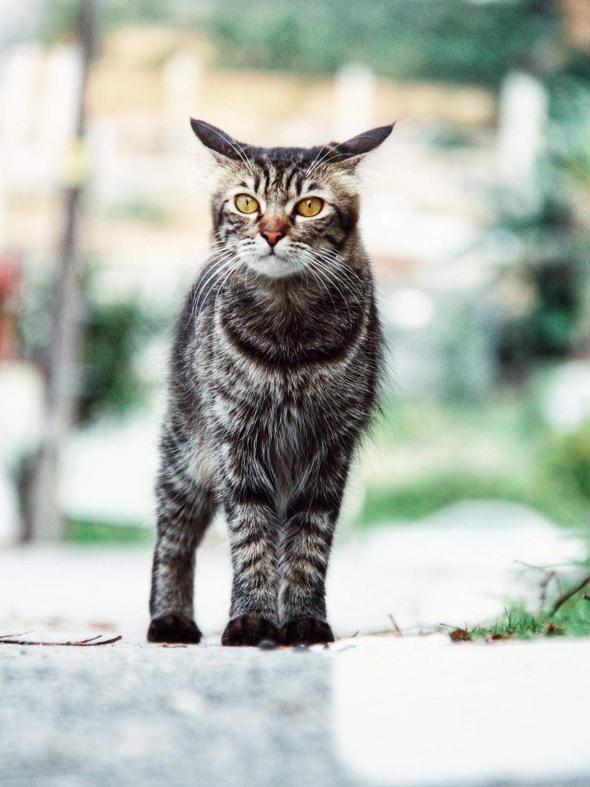 20 Koleksi Gambar Kucing Comel Bernama Tambi 8