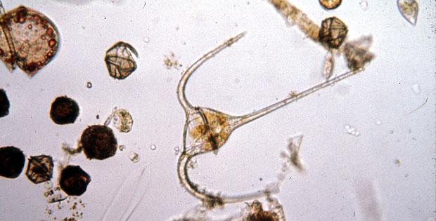 Dinoflagellates  Dinoflagellates