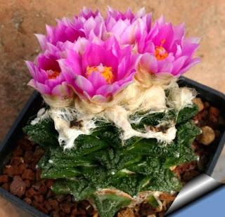 Cactus Ariocarpus
