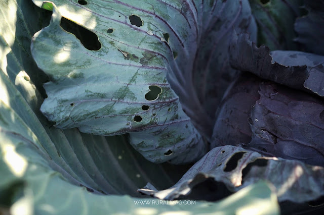 sunlight on purple cabbage www.ruralmag.com