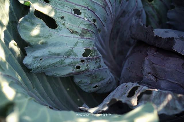 sunlight on purple cabbage www.ruralmag.com