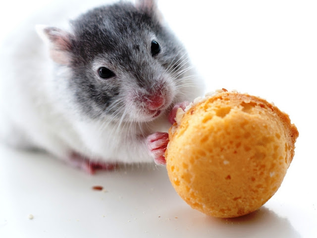 lovely hamster backgrounds