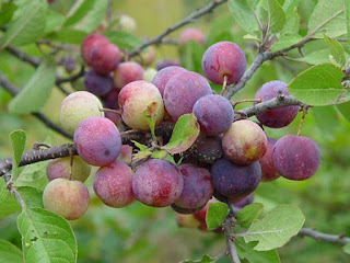 beach plum fruit images