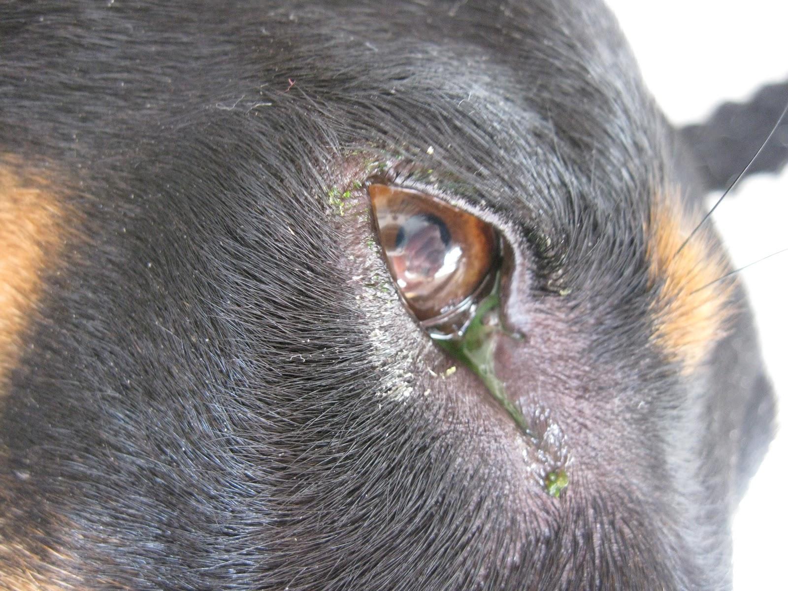 Koira Silmätulehdus