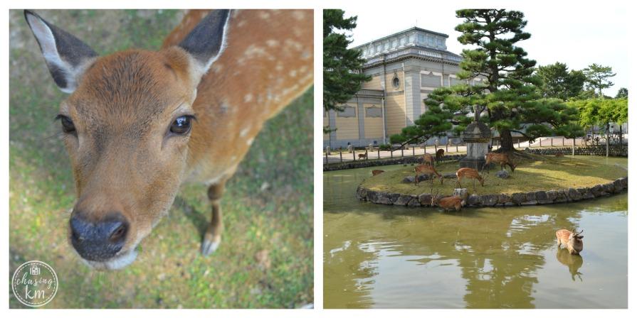 deer nara japan