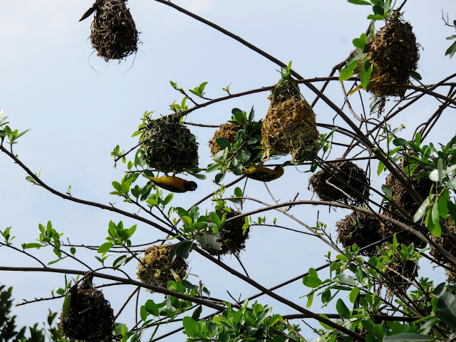 Weaver bird nests in Uganda