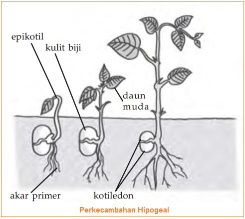 Gambar Perkecambahan Hipogeal
