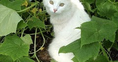 CATS: Turkish Angora cats