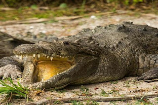 dream about alligators meaning