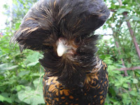 Polish black-laced golden bantam hen