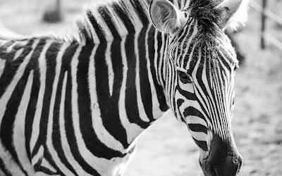 zebra blackwhite widescreen hd wallpaper