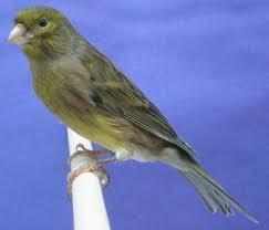Kicau Merdu Spanish Timbrado Canary