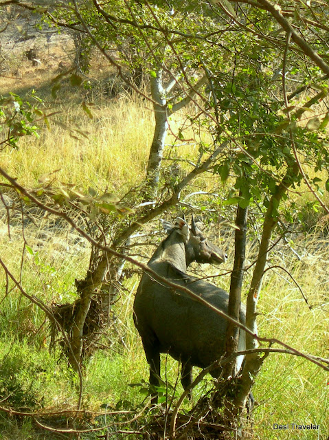 Male Nilgai Blue Buck Ranthambore