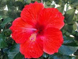 bunga kembang sepatu sebagai obat batuk