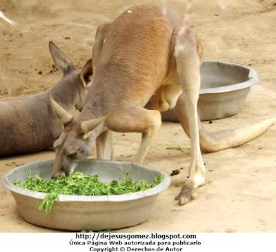 Foto de un canguro rojo almorzando (Canguro del Parque Zoológico de Huachipa. Lima - Perú). Foto del canguro rojo tomada por Jesus Gómez