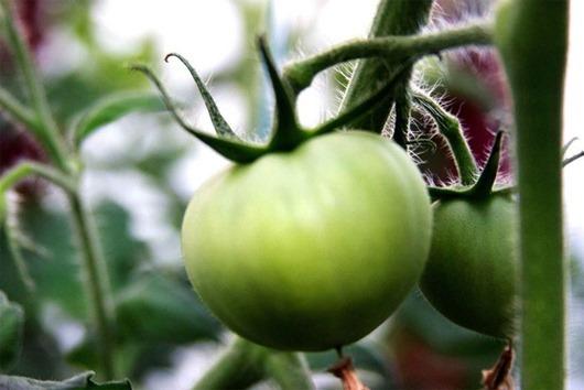 Помочь зелёным помидором дозреть