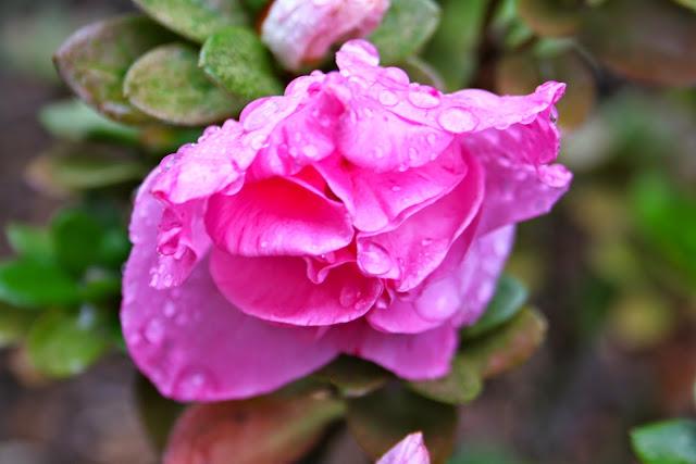National Rhododendron Garden