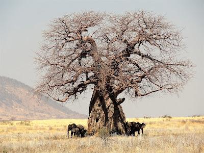 tree of life , baobab tree
