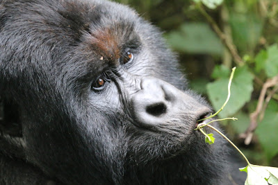 Gorilla trekking in Virunga national park, Mountain gorillas in Virunga national park