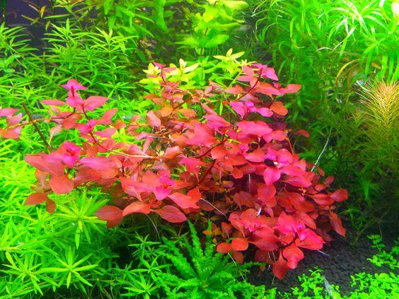 Màu đỏ rực rỡ của cây thủy sinh Tân Đế Tài Hồng