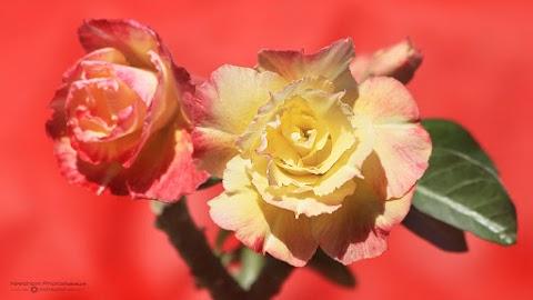 Bunga Adenium Chameleon Bertukar Warna