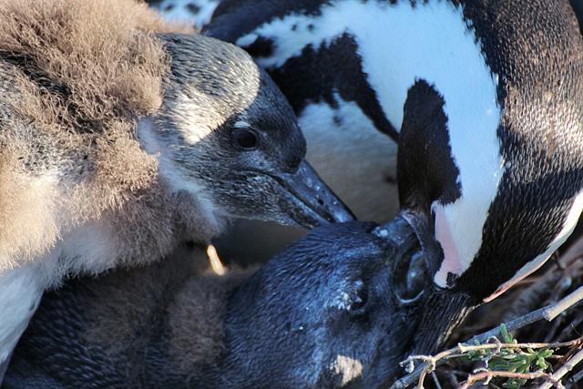 Mama alimentando a los pollitos