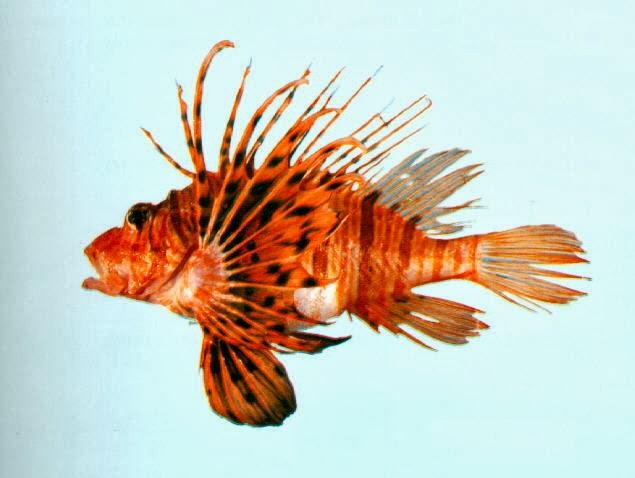 6e1ee356d50 PEZ LEÓN EL MONSTRUO DEL CARIBE.- La especie no es nativa del océano  Atlántico. El venenoso pez, que es rápido para reproducirse, es agresivo al  buscar ...