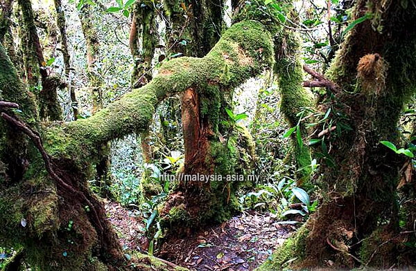 Malaysia Mossy Forest