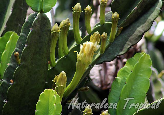 Botones florales en formación del Aguacate Cimarrón o Flor de Copa, Dendrocereus nudiflorus